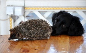 dog-sniffing-hedgehog