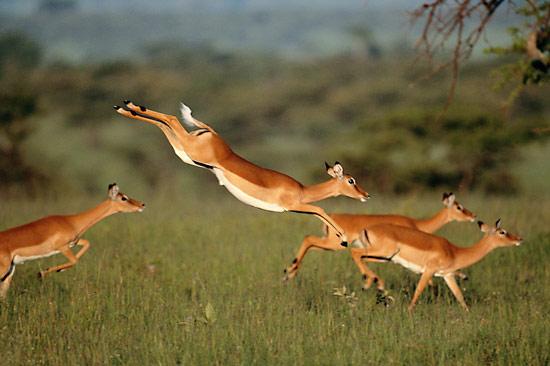 gazelle leaping
